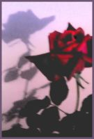 The shadow of a rose by Arimana