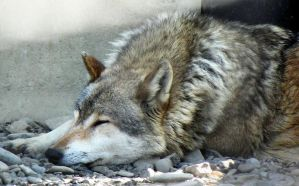Sleepy wolf by Biljana1313