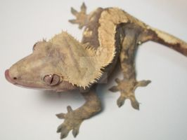 Silly Gecko by wolverinette