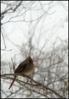 Female Cardinal by StormPetral0509