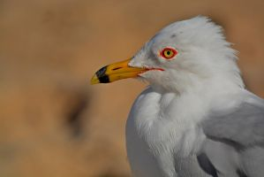 Gull by SemioticPhotography