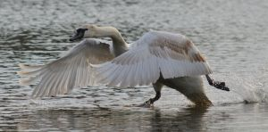 Swans 2014 5 5 by melrissbrook