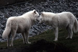 Animals - Arctic Wolf 6 by MoonsongStock