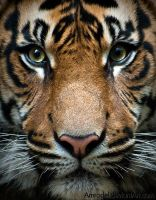 Tiger III by amrodel