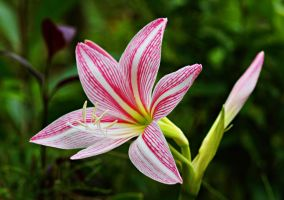 Lily flower 4 by a6-k