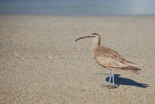 Whimbrel by kaminskygirl
