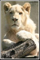 White lion 2 by swell56