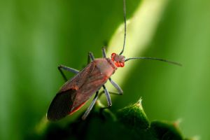 Red Eyes Bug by foquinha156