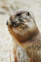 Prairie Dog by teresastreasures72