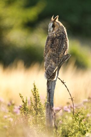 Evening Owl by mansaards