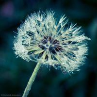 Dandy Lion by DeborahBeeuwkes