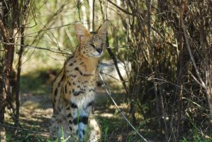 Serval full by NagWolf