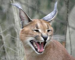 The Laughing Caracal by Canislupuscorax