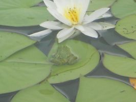 Pool Frog beside a Lilly by DarkDragonFantasy