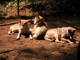 Mexican Wolves by appygirl209
