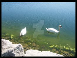 swans in blue green lake by amalym