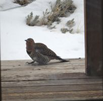 Northern Red-Shafted Flicker by Sanluris