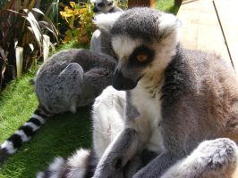 Ring Tailed Lemur by KatieMatie