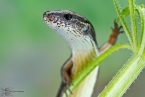 Ground Skink - Scincella lateralis by ColinHuttonPhoto