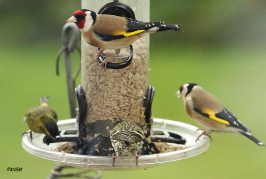 Siskin and Goldfinches by Mararda