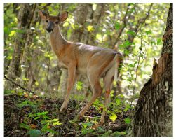 A Young Buck Deer by TheMan268