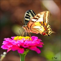 Swallowtail on flower by Patguli