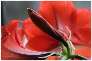 Red Christmas Flower by Claudia008