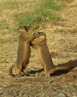 Boxing Marmots by 12monthsOFwinter