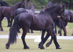 STOCK - Friesian Show 2012-88 by fillyrox