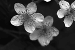 Blackberry Blossom 6 by DorianStretton