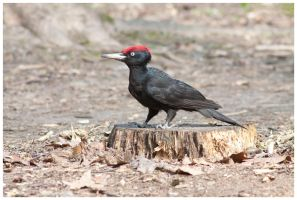 Black Woodpecker by Malgorzata-Skibinska