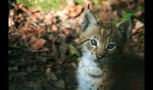 Lynx II by moem-photography