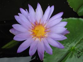 water lily 5837 by Maxine190889