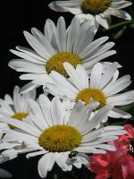 Daisy Grouping by picworth1000wrds