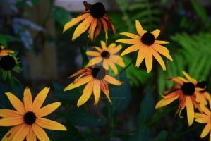 Black-eyed Susans by x-NOthiNG-x