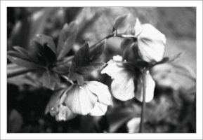 Black and white flowers by assimilated