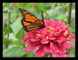 Monarch by picworth1000wrds