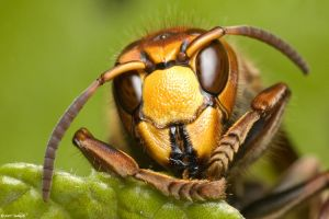 Vespa crabro II by Dark-Raptor