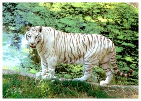 White Tiger by DolphyDolphiana