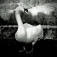 Gatehouse: swan+forest by Coigach