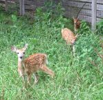 Fawns in the Meadow 5a by Windthin