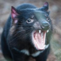 Tasmanian devil by 88-Lawstock