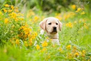 Yellow puppy by IllusionoftheDay