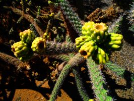 Cacti by SharPhotography