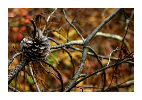 Pine Cone by TrappedChild