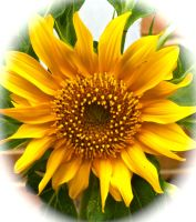 Sunflower by harpseal16