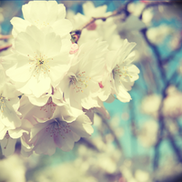 blossoms. by DntFearThReapr