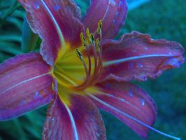 Lillies in the sun. by jerrinator