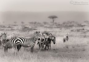 Zebras of the Mara by MorkelErasmus