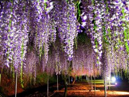 Wisteria  Lane-trees by YOKOKY